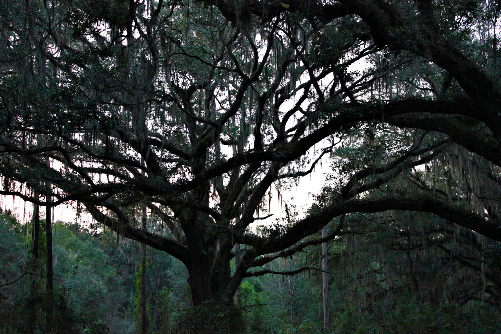 Oak Tree swathed in Spanish Moss after the rain